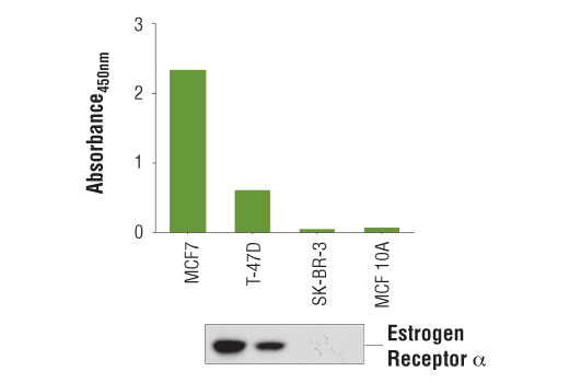 Figure 1. Estrogen receptor α protein is detected from multiple cell lines using the PathScan<sup>®</sup> Total Estrogen Receptor α Sandwich ELISA Kit #80251. The absorbance readings at 450 nm are shown in the top figure, while the corresponding western blot using Estrogen Receptor α (D6R2W) Rabbit mAb #13258 is shown in the bottom figure.