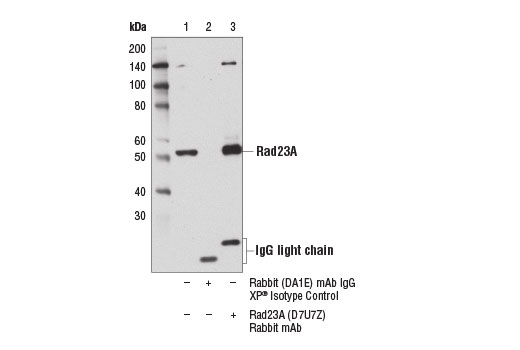 Monoclonal Antibody - Rad23A (D7U7Z) Rabbit mAb - Immunoprecipitation, Western Blotting, UniProt ID P54725, Entrez ID 5886 #24555 - Ubiquitin and Ubiquitin-Like Proteins