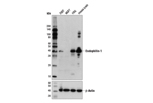Western blot analysis of extracts from various cell lines and tissues using Endophilin-1 (E1E6Q) Rabbit mAb (upper) and β-Actin (D6A8) Rabbit mAb #8457 (lower).