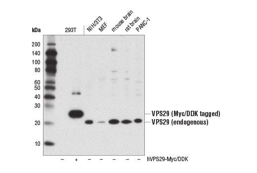 Monoclonal Antibody - VPS29 (D2H7G) Rabbit mAb - Western Blotting, UniProt ID Q9UBQ0, Entrez ID 51699 #73540, Vps29