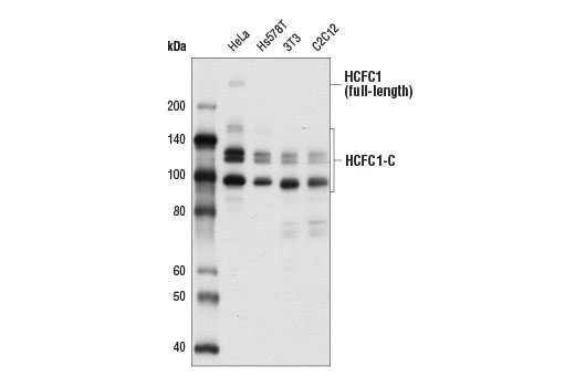 Western blot analysis of extracts from various cell lines using HCFC1 Antibody (Carboxy-terminal Antigen).