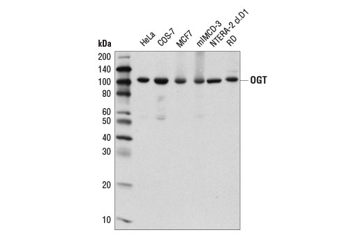 Western blot analysis of extracts from various cell lines using OGT (D1D8Q) Rabbit mAb.