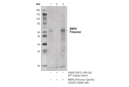 Immunoprecipitation of BMP6 from A-204 cell extracts. Lane 1 is 10% input, lane 2 is Rabbit (DA1E) mAb IgG XP<sup>®</sup> Isotype Control #3900, and lane 3 is BMP6 (Precursor Specific) (D2V5Z) Rabbit mAb. Western blot analysis was performed using</p><p>BMP6 (Precursor Specific) (D2V5Z) Rabbit mAb and Mouse Anti-rabbit IgG (Conformation Specific) (L27A9) mAb #3678.