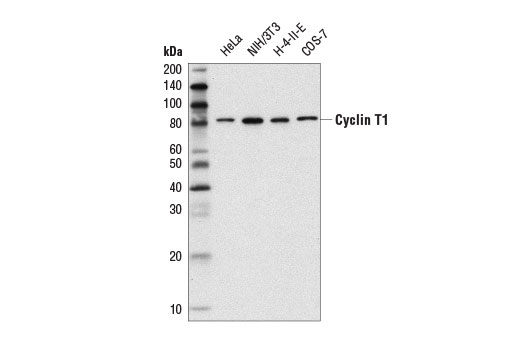 Western blot analysis of extracts from various cell lines using Cyclin T1 (D1B6G) Rabbit mAb.