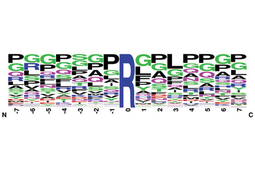 This Motif Logo was generated from a MethylScan<sup>®</sup> LC-MS/MS experiment using 169 nonredundant tryptic peptides derived from mouse embryo and immunoprecipitated with PTMScan<sup>® </sup>Asymmetric Di-Methyl Arginine Motif [adme-R] Immunoaffinity Beads. The logo represents the relative frequency of amino acids in each position surrounding the central asymmetric di-methyl arginine.