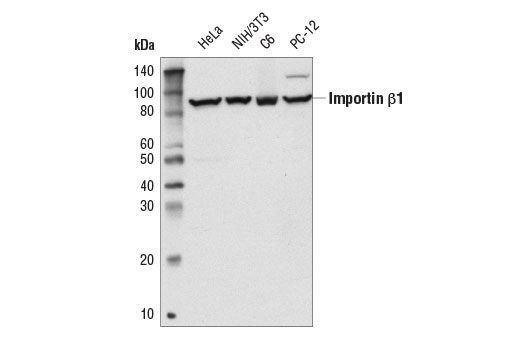 Western blot analysis of extracts from various cell lines using Importin β1 (E1F1G) Rabbit mAb.