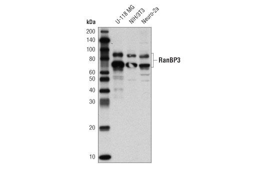 Polyclonal Antibody - RanBP3 Antibody - Immunoprecipitation, Western Blotting, UniProt ID Q9H6Z4, Entrez ID 8498 #93706