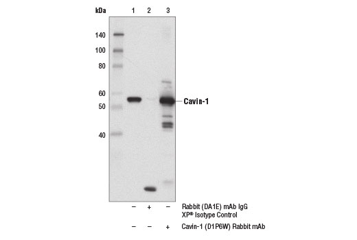Immunoprecipitation Image 1: Cavin-1 (D1P6W) Rabbit mAb