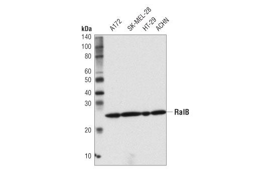 Monoclonal Antibody Exocyst