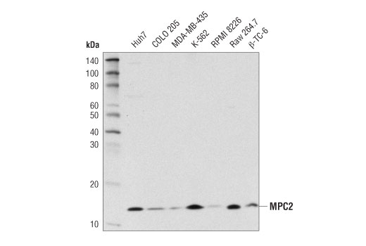 Western blot analysis of extracts from various cell lines using MPC2 (D4I7G) Rabbit mAb.