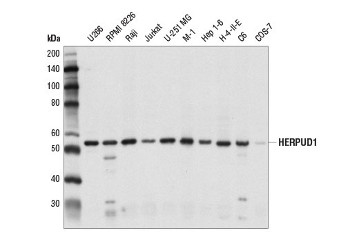 Western blot analysis of extracts from various cell lines using HERPUD1 Antibody.