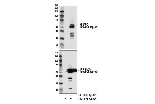 Western blot analysis of extracts from 293T cells, mock transfected (-) or transfected with constructs expressing Myc/DDK-tagged full-length human HERPUD1 protein (hHERPUD1-Myc/DDK; +) or Myc/DDK-tagged full-length human HERPUD2 protein (hHERPUD2-Myc/DDK; +), using HERPUD1 Antibody (upper) and DYKDDDDK Tag Antibody #2368 (lower).