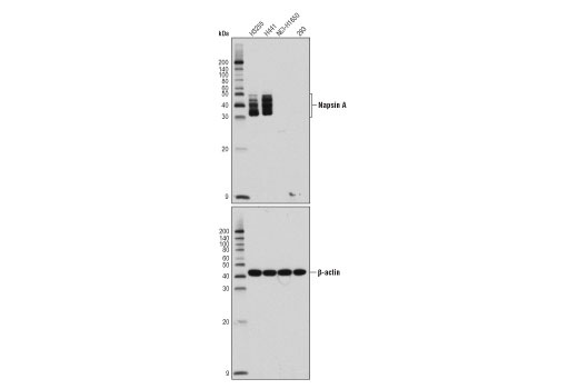 Western blot analysis of extracts from various cell lines using Napsin A (D5P6G) XP<sup>®</sup> Rabbit mAb (upper) or β-Actin (D6A8) Rabbit mAb #8457 (lower).