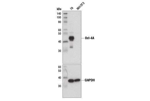 Western blot analysis of extracts from F9 and NIH/3T3 cells using Oct-4A (D6C8T) Rabbit mAb (Mouse Specific) (upper) and GAPDH (D16H11) XP<sup>®</sup> Rabbit mAb #5174 (lower). As expected, NIH/3T3 cells do not express Oct-4A.