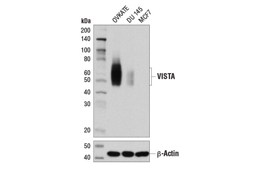 Western blot analysis of extracts from OVKATE, DU 145, and MCF7 cells using VISTA ((D1L2G™) XP<sup>®</sup> Rabbit mAb (upper) or β-Actin (D6A8) Rabbit mAb #8457 (lower).