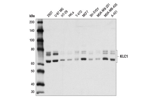 Western blot analysis of extracts from various cell lines using KLC1 (D2T2R) Rabbit mAb.