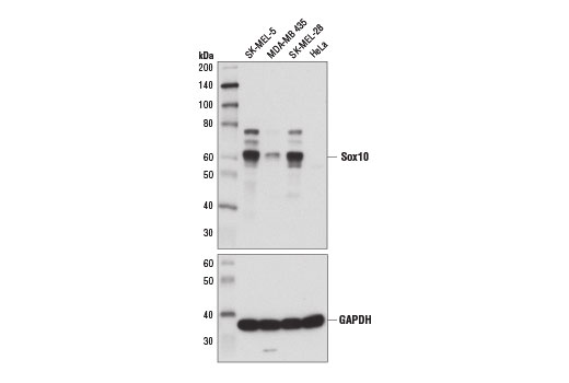 Western blot analysis of extracts from various cell lines using Sox10 (D5V9L) Rabbit mAb (upper) and GAPDH (D16H11) XP<sup>®</sup> Rabbit mAb #5174 (lower). As expected, HeLa cells are negative for Sox10 protein.