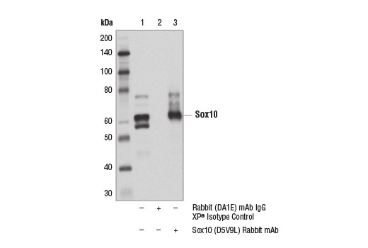 Immunoprecipitation of Sox10 from A-204 cell extracts. Lane 1 is 10% input, lane 2 is Rabbit (DA1E) mAb XP<sup>®</sup> Isotype Control #3900, and lane 3 is Sox10 (D5V9L) Rabbit mAb. Western blot analysis was performed using Sox10 (D5V9L) Rabbit mAb. Mouse Anti-rabbit IgG (Conformation Specific) (L27A9) mAb #3678 was used as a secondary antibody.