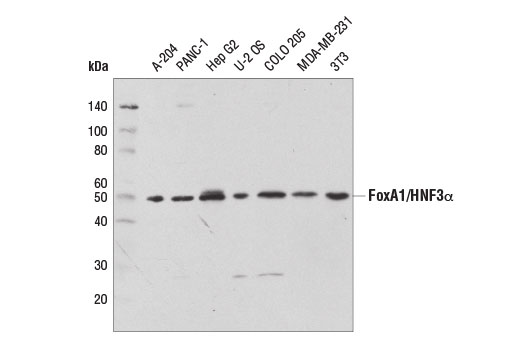 Western blot analysis of extracts from various cell lines using FoxA1/HNF3α (D7P9B) Rabbit mAb.