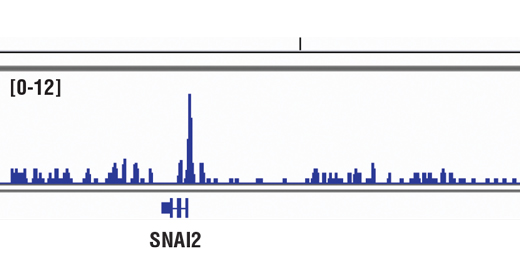 Chromatin immunoprecipitations were performed with cross-linked chromatin from LNCaP cells and FoxA1/HNF3α (D7P9B) Rabbit mAb, using SimpleChIP<sup>®</sup> Enzymatic Chromatin IP Kit (Magnetic Beads) #9003. DNA Libraries were prepared using SimpleChIP® ChIP-seq DNA Library Prep Kit for Illumina® #56795. The figure shows binding across SNAI2/SLUG, a known target gene of FOXA1 (see additional figure containing ChIP-qPCR data). For additional ChIP-seq tracks, please download the product data sheet.