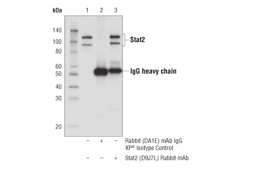Immunoprecipitation of Stat2 from KARPAS-299 cell extracts. Lane 1 is 10% input, lane 2 is Rabbit (DA1E) mAb IgG XP<sup>®</sup> Isotype Control #3900, and lane 3 is Stat2 (D9J7L) Rabbit mAb. Western blot was performed using Stat2 (D9J7L) Rabbit mAb. KARPAS cell line source: Dr Abraham Karpas at the University of Cambridge.