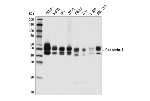 Western blot analysis of extracts from various cell lines using Pannexin-1 (D9M1C) Rabbit mAb.