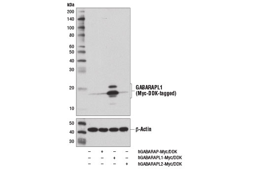 Western blot analysis of extracts from 293T cells, mock transfected (-) or transfected with constructs expressing Myc/DDK-tagged full-length human GABARAP protein (hGABARAP-Myc/DDK; +), human GABARAPL1 protein (hGABARAPL1-Myc/DDK; +), or human GABARAPL2 protein (hGABARAPL2-Myc/DDK; +) using GABARAPL1 (D5R9Y) XP<sup>®</sup> Rabbit mAb (upper) and β-Actin (D6A8) Rabbit mAb #8457 (lower).
