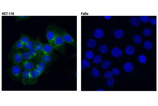 Confocal immunofluorescent analysis of HCT 116 (positive, left) and FaDu (negative, right) cells using DR4 (D9S1R) Rabbit mAb (green). Blue pseudocolor = DRAQ5<sup>®</sup> #4084 (fluorescent DNA dye).