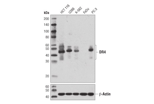 Western blot analysis of extracts from various cell lines using DR4 (D9S1R) Rabbit mAb (upper) or β-Actin (D6A8) Rabbit mAb #8457 (lower).