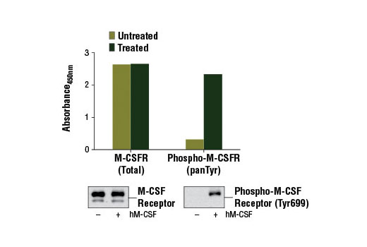 Figure 1: Treatment of NKM-1 cells with Human Macrophage Colony Stimulating Factor (hM-CSF) #8929 stimulates tyrosine phosphorylation of M-CSF receptor protein, as detected by PathScan<sup>®</sup> Phospho-M-CSF Receptor (panTyr) Sandwich ELISA Kit, but does not affect the level of total M-CSF receptor detected by PathScan<sup>®</sup> Total M-CSF Receptor Sandwich ELISA Kit #13032. The absorbance readings at 450 nm are shown in the top figure while corresponding western blots using M-CSF Receptor Antibody #3152 (left panel) and Phospho-M-CSF Receptor (Tyr699) (D10B11) Rabbit mAb #12251 (right panel) are shown in the bottom figure.