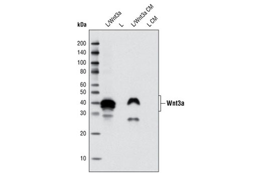Western blot analysis of total cell lysates and conditioned medium from L cells overexpressing mouse Wnt3a, compared with parental L cells, using Wnt3a (C64F2) Rabbit mAb.
