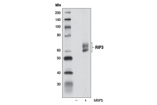 Western blot analysis of extracts from 293T cells, mock transfected (-) or transfected with a construct expressing full-length human RIP3 protein (hRIP3; +), using RIP3 (E1Z1D) Rabbit mAb.