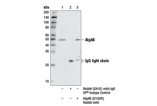 Immunoprecipitation of Atg4B from RD cell extracts using Rabbit (DA1E) mAb IgG XP<sup>®</sup> Isotype control #3900 (lane 2) or Atg4B (D1G2R) Rabbit mAb (lane 3). Lane 1 is 10% input. Western blot analysis was performed using Atg4B (D1G2R) Rabbit mAb.