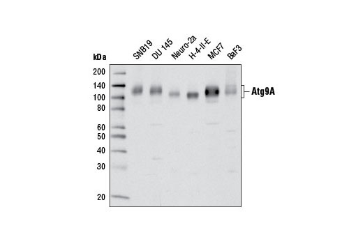 Western blot analysis of extracts of various cell lines using Atg9A (D4O9D) Rabbit mAb.