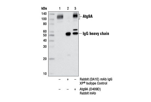 Immunoprecipitation of Atg9A from Hep G2 cell extracts using Rabbit (DA1E) mAb IgG XP<sup>®</sup> Isotype control #3900 (lane 2) or Atg9A (D4O9D) Rabbit mAb (lane 3). Lane 1 is 10% input. Western blot analysis was performed using Atg9A (D4O9D) Rabbit mAb.
