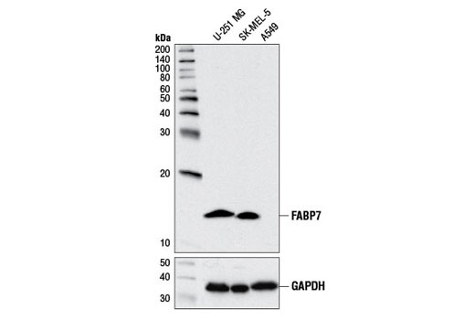 Western blot analysis of extracts from U-251 MG, SK-MEL-5, and A549 cells using FABP7 (D8N3N) Rabbit mAb (upper), and GAPDH (D16H11) XP® Rabbit mAb #5174 (lower). A549 extract is negative, as expected.