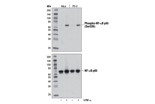 Western blot analysis of extracts from HeLa and PC-3 cells, untreated (-) or treated with Human Tumor Necrosis Factor-α (hTNF-α) #8902 (hTNF-α; 20 ng/ml, 5 min; +), using Phospho-NF-κB p65 (Ser536) (E1Z1T) Mouse mAb (upper) or NF-κB p65 (D14E12) XP<sup>®</sup> Rabbit mAb #8242 (lower).