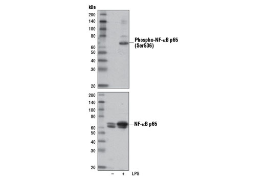 Western blot analysis of extracts from THP-1 cells differentiated with TPA #4174 (80 nM, overnight), untreated (-) or LPS-treated (1 μg/ml, 15 min; +), using Phospho-NF-κB p65 (Ser536) (E1Z1T) Mouse mAb (upper) or NF-κB p65 (D14E12) XP<sup>®</sup> Rabbit mAb #8242 (lower).