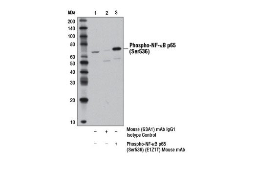 Immunoprecipitation of phospho-NF-κB p65 (Ser536) from HeLa cells treated with Human Tumor Necrosis Factor-α (hTNF-α) #8902 (20 ng/ml, 5 min) using Mouse (G3A1) mAb IgG1 Isotype Control #5415 (lane 2) or Phospho-NF-κB p65 (Ser536) (E1Z1T) Mouse mAb (lane 3). Lane 1 represents 10% input. Western blot was performed using Phospho-NF-κB p65 (Ser536) (93H1) Rabbit mAb #3033.