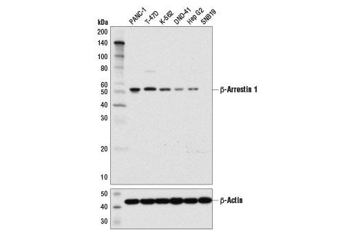 Western blot analysis of extracts from various cell lines using β-Arrestin 1 (D7Z3W) XP<sup>®</sup> Rabbit mAb (upper) and β-Actin (D6A8) Rabbit mAb #8457 (lower).