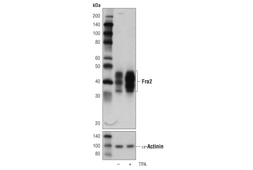 Western blot analysis of extracts from serum-starved HeLa cells, untreated (-) or stimulated with TPA #4174 (+) for 4 hr, using Fra2 (D2F1E) Rabbit mAb (upper) and α-Actinin (D6F6) XP<sup>®</sup> Rabbit mAb #6487 (lower).