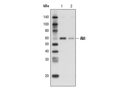 Miscellaneous - Protein G Agarose Beads - Immunoprecipitation #37478, Protein G