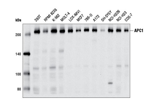 Western blot analysis of extracts from various cell lines using APC1 (D1E9D) Rabbit mAb.