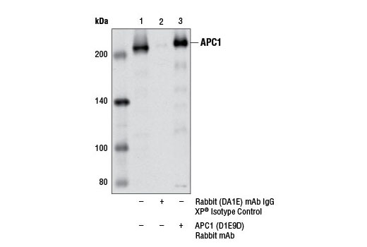 Immunoprecipitation Image 1: APC1 (D1E9D) Rabbit mAb