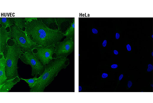 Immunofluorescence Image 1: CD102/ICAM-2 (D7P2Q) Rabbit mAb