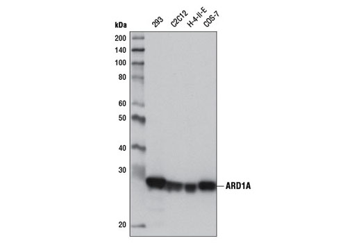 Western blot analysis of extracts from various cell lines using ARD1A (E1J2B) Rabbit mAb.