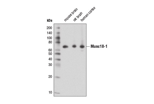 Mouse syntaxin-1 Binding