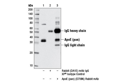 Immunoprecipitation of ApoE from Hep G2 cells treated with Brefeldin A #9972 (10 ng/ml, 90 min), using Rabbit (DA1E) mAb IgG XP<sup>®</sup> Isotype Control #3900 (lane 2) or ApoE (pan) (D7I9N) Rabbit mAb (lane 3). Lane 1 is 10% input. Western blot analysis was performed using ApoE (pan) (D7I9N) Rabbit mAb.