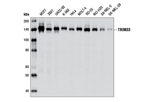 Monoclonal Antibody - TRIM33 (E1N2Z) Rabbit mAb - Western Blotting, UniProt ID Q9UPN9, Entrez ID 51592 #13387, Trim33