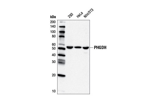Western blot analysis of extracts from 293, HeLa, and NIH/3T3 cells using PHGDH Antibody.